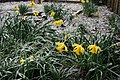 Drooping Daffs - geograph.org.uk - 370624.jpg