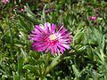 Drosanthemum speciosum (1).jpg
