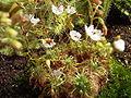 Drosera nitidula bluehend.jpg