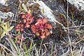 Drosera rotundifolia auf Harris.jpg