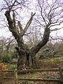 Druid's Oak (6958351728).jpg