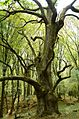Dub v Lese mrtvych obrov.jpg