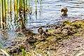 Duck (44200818411).jpg