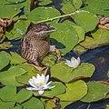 Duck (48723194018).jpg