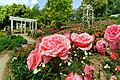 Duftende Schönheit, der Rosengarten im Kurpark Bad Mergentheim. 20.jpg
