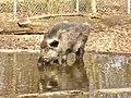 Durstiges Wildschwein (Thirsty Boar) - geo.hlipp.de - 35003.jpg