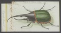 Dynastes - Print - Iconographia Zoologica - Special Collections University of Amsterdam - UBAINV0274 021 07 0010.tif