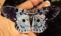 Dysphania percota - The Blue Tiger Moth 05.JPG