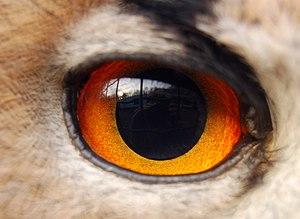 Auge eines uhus