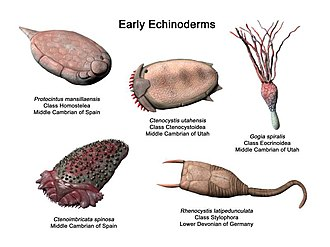 Echinoderm - Early echinoderms