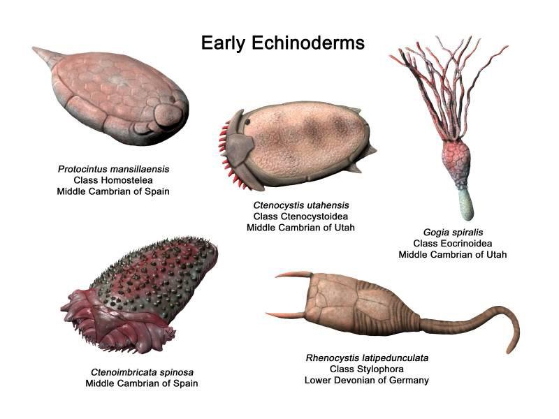 EarlyEchinoderms NT