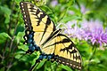 Eastern Tiger Swallowtail (Papilio glaucus) (19234015432).jpg