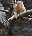 Ebony Langur Javan Lutung Trachypithecus auratus at Bronx Zoo 2 cropped.jpg