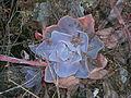 Echeveria gibbiflora en habitat.JPG