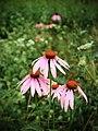 Echinacea purpurea (15101512156).jpg