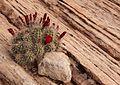 Echinocereus triglochidiatus (8729914200).jpg