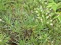 Echium aculeatum2.jpg