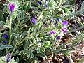 Echium sabulicola Closeup2 12July2009 LagunadelaMata.jpg