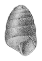 Edentulina moreleti shell 4.png