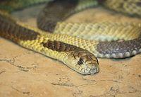 Kobra egyptská