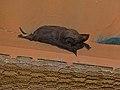 Egyptian Free-tailed Bat (Tadarida aegyptiaca) (6857006746).jpg