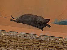 Egyptian Free-tailed Bat (Tadarida aegyptiaca) (6857006746).jpg