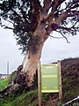 El eucalipto - panoramio.jpg