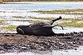 Elefante africano de sabana (Loxodonta africana), parque nacional de Chobe, Botsuana, 2018-07-28, DD 21.jpg