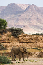 Elephant in Huab riverbed (3690384106).jpg