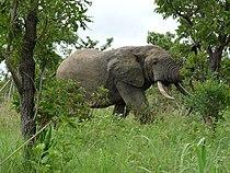 Elephant nazinga juillet2010.jpg