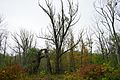 Emerald Ash Borer Damage Red Hill Valley Hamilton Ontario.JPG