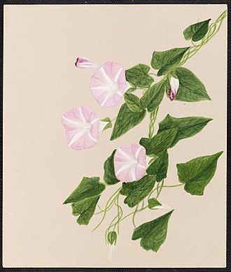 Emma Roberts (artist) - Image: Emma Roberts Calystegia sepium, R. Br