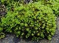 Encalypta streptocarpa 61861235.jpg
