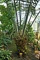 Encephalartos laurentianus-Jardin botanique Meise (2).jpg