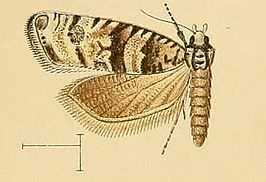 Endothenia pauperculana.jpg