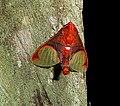 Epimolis incarnata . male. Arctiinae - Flickr - gailhampshire.jpg