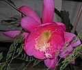 Epiphyllum 2015-06-01 OB 246.jpg