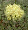 Eriogonum ursinum 2.jpg