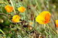 Eschscholzia californica-JdP-Paris.JPG