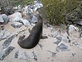 Espanola - Hood - Galapagos Islands - Ecuador (4871506192).jpg