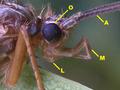 Esquema da região cefálica de Trichoptera.png