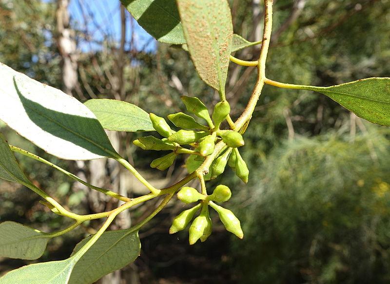 File eucalyptus incrassata jard n bot nico de barcelona for Barcelona jardin botanico