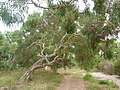 Eucalyptus mannifera tree 3.jpg