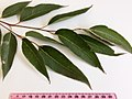 Eucalyptus microcorys - adult leaves.jpg