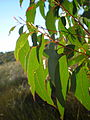 Eucalyptus oilda leaves1.JPG