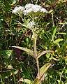 Eupatorium perfoliatum 2.jpg