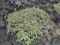 Euphorbia balsamifera- El Golfo.jpg