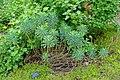 Euphorbia characias 'Black Pearl' - Hillier Gardens - Romsey, Hampshire, England - DSC04465.jpg