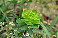 Euphorbia helioscopia 116061897.jpg