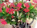 Euphorbia milii Red Plant TorreLaMata.jpg